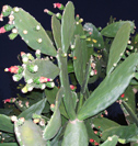 Opuntia cochineal cactus