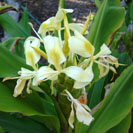 Hedychium flavescens Cream Ginger, Yellow Ginger